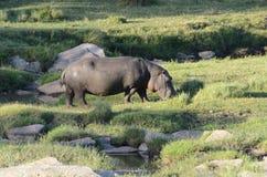 Flodhäst som betar KenyaTom Wurl Royaltyfria Bilder