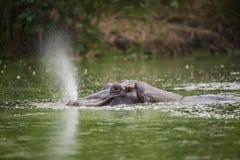 Flodhäst som blåser vatten fotografering för bildbyråer