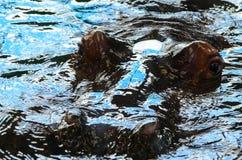Flodhäst som dyker upp från vattnet Royaltyfri Bild
