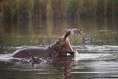 Flodhäst som gäspar i defensiv skärm i guld- ljus royaltyfria bilder