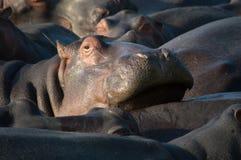 Flodhäst som kopplar av i Sydafrika St Lucia royaltyfri foto