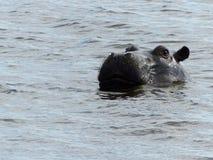 Flodhäst som matar, Okavango delta, Botswana Arkivfoto