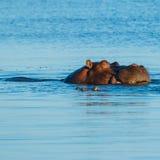 Flodhäst som sover och äter i floden Arkivbilder