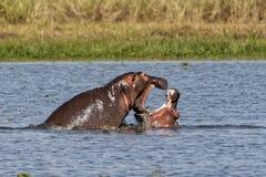 Flodhäst som spelar i den Murchison Falls nationalparken Royaltyfria Bilder