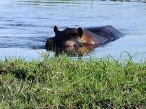 Flodhäst som vadar Sydafrika arkivbild