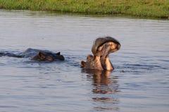 Flodhäst som visar de härliga tänderna royaltyfria foton