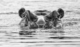 Flodhäst Sydafrika fotografering för bildbyråer