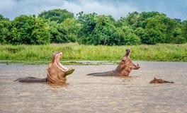 Flodhäst två i vattnet av Murchison Falls, Uganda arkivfoto