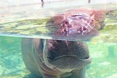 Flodhäst under vattenshow dess öron och ögon i zooakvarium med su fotografering för bildbyråer