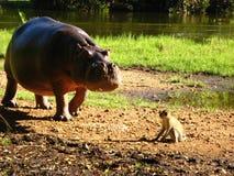 Flodhäst vs apa Arkivbild
