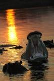 flodhästar Royaltyfri Bild