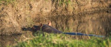 Flodhästar gå i ax att klibba ut ur floden i masaien Mara, Kenya arkivbilder