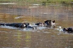 Flodhästar i ett damm royaltyfria bilder
