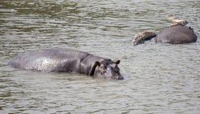 Flodhästar i Nilet River Arkivbild