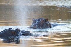 Flodhästar i vatten Arkivfoto