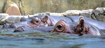 Flodhästar i vatten Arkivbilder
