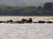 Flodhästar och flamingo Royaltyfri Foto