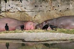 Flodhästar på vilar Arkivfoton
