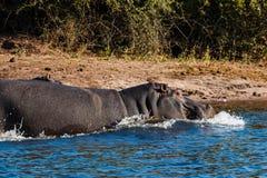 Flodhästar som kör in i vattnet Arkivfoton