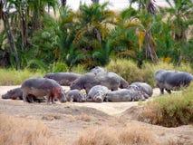 Flodhästar som lägger på jordningen Royaltyfri Foto