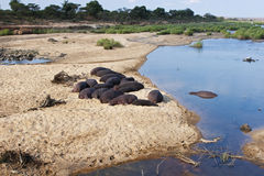 Flodhästar som vilar på flod kant Royaltyfri Foto