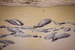 Flodhästbad i en flod Arkivfoton