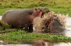 flodhästbrottning Fotografering för Bildbyråer