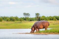 Flodhästdricksvatten i sjön Kariba Zimbabwe royaltyfri foto