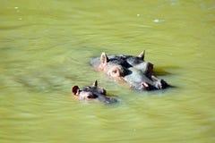 Flodhästen Amphibius med behandla som ett barn simning i sjön arkivfoton