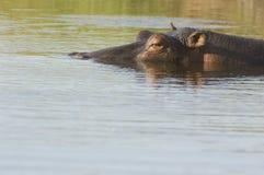 Flodhästen (flodhästamphibius) doppade delvis i vatten Royaltyfri Fotografi