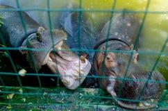 Flodhästen i pölfricaen, naturen, djuret, djurlivsjön parkerar arkivfoton