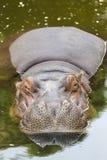 Flodhästen sover bekvämt Royaltyfria Bilder