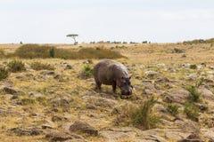Flodhästen stiger ned till banken av floden Mara kenya mara masai royaltyfria foton