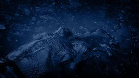 Flodhästen vrålar och doppar på natten lager videofilmer