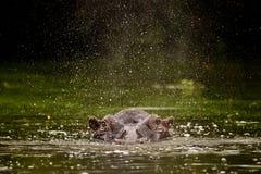 Flodhästfärgstänk Sydafrika royaltyfria foton