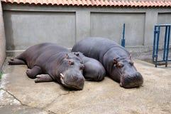 Flodhästfamilj i den Belgrade zoo Fotografering för Bildbyråer