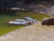 Flodhästfamilj i vatten royaltyfria bilder
