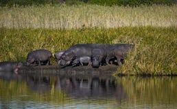 Flodhästflock i Sydafrika arkivfoto