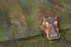 Flodhästflodhästamphibius fotografering för bildbyråer