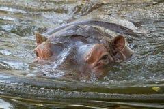 Flodhästflodhästbadning i vattencloseupsikt Arkivfoto