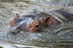 Flodhästflodhästbadning i vattencloseupsikt Arkivbild