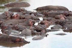FlodhästMasai Mara Reserve Kenya Africa arkivfoto