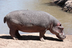 FlodhästMasai Mara Reserve Kenya Africa royaltyfri fotografi