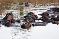 Flodhästmasaimara flod Kenya arkivfoton