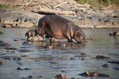 flodhästnationalparkserengeti royaltyfri foto