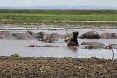 flodhästpöl Fotografering för Bildbyråer