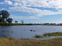 Flodhästpöl i den Okavango deltan, Botswana Royaltyfri Foto