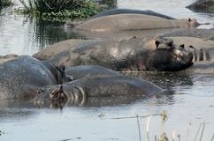 Flodhästpölparti Tanzania Tom Wurl Royaltyfria Bilder