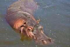 flodhästparksafari Arkivfoto