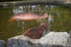 Flodhästsömn i vattnet Fotografering för Bildbyråer